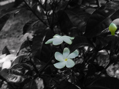 """Every photo I post is a part of my story that I leave in the world..."" (Guilherme Alex) Tags: photonumber500 bw life garden white black green petals flowers jungle nature wild mylife myworld cutout amateur photography leaf bipolar beautiful wonderful samsung cellphone"