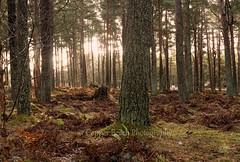24-1-2018 (Copperhobnob) Tags: 2018 fife january moe pad southannsmuir trees windy woodland goodstrain walk winter