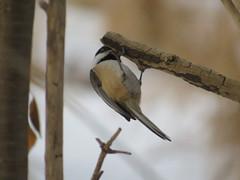 IMG_5366 (stevefenech) Tags: canada ontario stephen steve fenech fennock birds bird