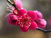 Japanese apricot (Prunus mume, 梅) blossoms (Greg Peterson in Japan) Tags: flowers japan 滋賀県 花 植物 shiga plumblossoms moriyama plants 守山市 梅 shigaprefecture