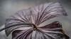 20180127_macro_6503 (Jeannette Maandag) Tags: macro flower hydrangea autumn extensiontubes nature