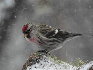 Common Redpoll in snowstorm.