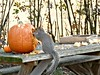 Waste Not, Want Not. (di_the_huntress) Tags: squirrel pumpkin table harvest seeds nature picmonkey fantasticnaturegroup