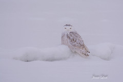 Snowy Owl (Jamie Lenh Photography) Tags: nature wildlife owls snowyowl nikond7100 tamron150600