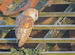 JWL1020  Barn Owl.. (jefflack Wildlife&Nature) Tags: barnowl owl owls birds birdsofprey barns raptors farmland forest wildlife wildbirds woodlands heathland hedgerows fields moorland meadows marshland marshes countryside norfolk nature coth5