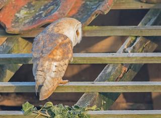 JWL1020  Barn Owl..