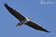 Pulicat Bird Sanctuary, India (rvk82) Tags: 2018 birdsanctuary birds february february2018 india nikkor200500mm nikon nikond850 pulicat pulicatbirdsanctuary pulicatlake rvk rvkphotography raghukumar raghukumarphotography southindia tamilnadu wildlife rvkonlinecom rvkphotographycom andhrapradesh in