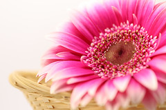 IMG_8557_2018-StilLife_flower_W (InesLFGuerriero) Tags: 2018 flower macro pink stillife stilllife canonef100mm ef100mm canon macrophotography nature color