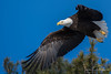 Bald Eagle (Ron Gallagher Photography) Tags: bi