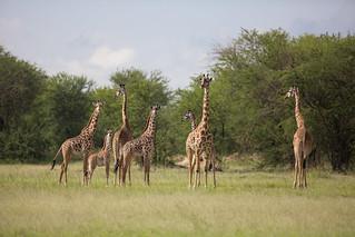 A journey of giraffe on the runway