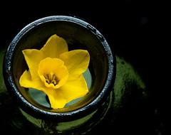 Ring Around a'Daffodil (really_late_bloomer) Tags: inabottle macromonday daffodil ringaroundaflower fuji geometricshapes spring stilllife