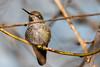 Hummer Wink (CORDAN) Tags: 2018 dmyers nikond500 hummingbird hummer annashummingbird calypteanna tamronsp150600mmg2