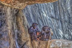 Planet of the Apes (Michael F. Nyiri) Tags: losangeles losangeleszoo zoo animals monkeys chimpanzee california southerncalifornia