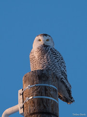 Harfang des neiges / Snowy Owl (Stéfano) Tags: hiver harfangdesneiges oiseaux canada buboscandiacus québec snowyowl baiedebeauport