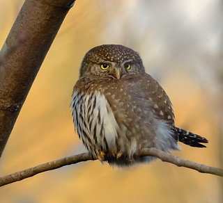 Fluffy Northern Pygmy Owl