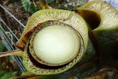 Banana (Variety: Koa e Kea): Fusarium wilt (Panama disease) (Scot Nelson) Tags: musa banana fusarium oxysporum f sp cubense panama disease wilt vascular necrosis pseudostem fruit petioles