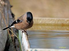 Camachuelo común (Pyrrhula pyrrhula) (8) (eb3alfmiguel) Tags: aves pájaros fringillidae passeriformes camachuelo común pyrrhula