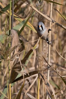 Panure à moustaches mâle (Panurus biarmicus) - Bearded Reedling