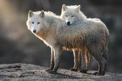_PIC6885 (kryztophe) Tags: loup blanc de wolf white artique