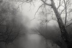 Veiled. (arthuroleary) Tags: fog ohio columbusohio hike hiking olentangytrail tree trees photo fz1000 lumixfz1000 pan panasoniclumix