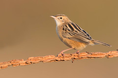 zitting cisticola (leonardo manetti) Tags: uccello bird nature sunset red winter colours naturephotography field natural nikkor countryside green