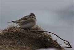Horned Lark (kearneyjoe) Tags: horned lark