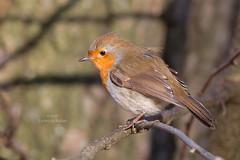 Robin / Roodborst (Erithacus rubecula) (Levina de Ruijter) Tags: canon1dmarkiv canonef400mmf56lusm animals birds dieren flevopark robin roodborst vogels