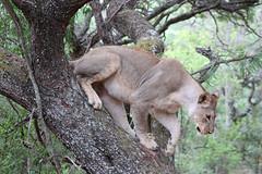 South Africa day 5 (s11_8) Tags: wildlife southafrica entebeni entabeni gamereserve gamedrive nature animal lion lioness lions lioncub lioncubs
