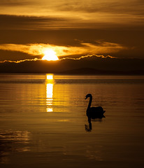 A memory of summer (Grant Morris) Tags: swan lochleven loch sunset sunsetoverwater goldenhour goldenlight scotland grantmorris grantmorrisphotography perthkinross reflection canon bobtheswan