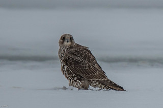 The Gray juvenile Gyrfalcon looks on from a distance.