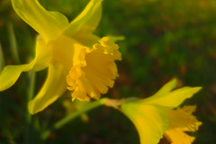 Daffodil Duo - Happy St David's Day! (Dave Roberts3) Tags: daffodil flower yellow wales cymru stdavidsday