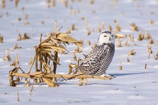 Snowy Owl - Corn stalk hide out