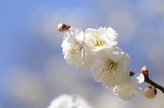 ume (snowshoe hare*(catching up)) Tags: dsc0151 plumblossoms japaneseapricot kyotobotanicalgardens flowers 京都府立植物園 白梅 梅