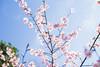 IMGL0592 (GARNETSKY2006) Tags: 180304sakura 5d3 sakura cherryblossom 50mmf12