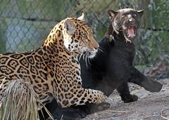 jaguar Artis BB2A5568 (j.a.kok) Tags: jaguar jaguarcub jaguarwelp moederenkind motherandchild pantheraonca kat cat mammal zoogdier dier animal artis zuidamerika southamerica