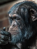 Next move (JKmedia) Tags: chester zoo chesire chimp chimpanzee primate monkey ape hand expression animal 2018 boultonphotography portrait face closeup male texture
