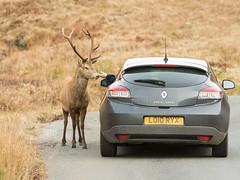 Deer Drive Thru (Starman_1969) Tags: animal deer etive glen highlands monarch scotland stag whiskey wild