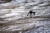 Hunting (RGaenssler) Tags: sperlingsvögel badenwürttemberg deutschland europa singvögel schwäbischealb vögel floraundfauna badurach wirbeltiere cinclus tiere wasseramseln eurasischewasseramsel
