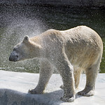 Shaking polar bear thumbnail