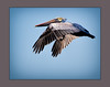 Brown Pelican (tvj21) Tags: pelican brownpelican bird stsimonsisland flying