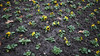 ViolaXWittrockiana (Jusotil_1943) Tags: pensamientos flores flora flowers