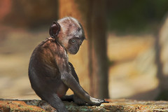 Sadness (JLM62380) Tags: sadness tristesse singe monkey primate baby zoo beauval animalplanet animal