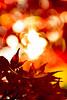 IMG_9752 (Matthew_Li) Tags: red leaf japan maple leaves