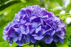 Hydrangea (sal tinoco) Tags: hydrangea fantasticflower flower nature outside flora