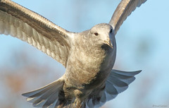 094A7524.a1c1c7 (Sue Coastal Observer) Tags: gull flight inyourface brydonlagoon langley bc britishcolumbia canada