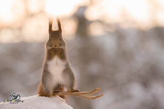 red squirrel is standing on skis in snow