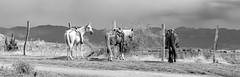Jolly Jumper et Cie (brunomalfondet) Tags: colombie chevaux désert tatacoa noiretblanc elitegalleryaoi bestcapturesaoi aoi