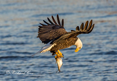 Eagle Fish 2018 (The Back Road Photographer) Tags: baldeagle birds mississippiriver midwest ld14 raptor 2018 eagle