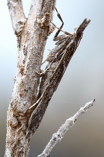 Little grey moth (Crambidae)