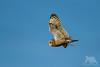 Short-Eared Owl (fascinationwildlife) Tags: animal wild wildlife winter nature natur park regional hayward short eared owl sumpfohreule eule raptor sky inflight bird birding vogel raubvogel hunt catch california usa america bay area